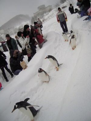 ペンギンの雪中散歩